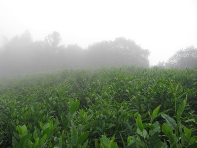 茶树所需生长环境